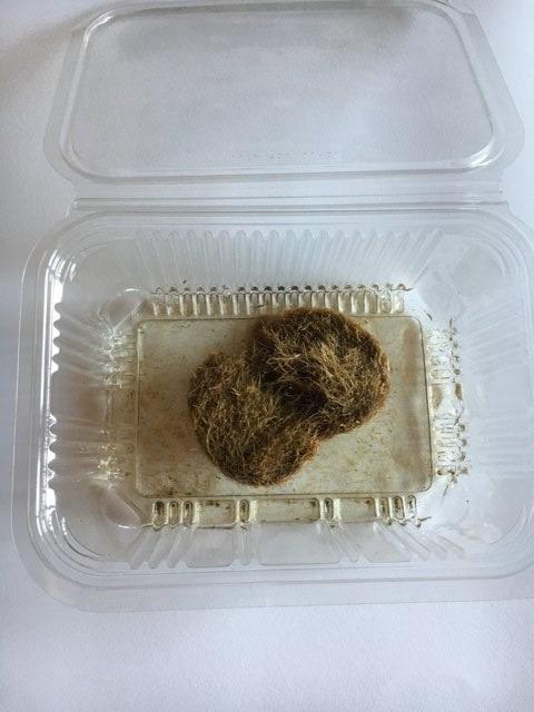 La paglia nel presepio ricavata dalla Posidonia. La decolorazione con candeggina